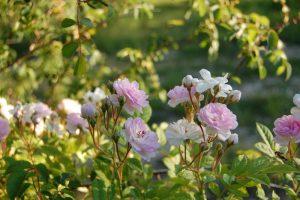 Les fleurs du rosier multiflore éléonore berkeley collection de la roseraie de gérenton
