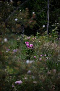 Le rosier Jacques Cartier en fleur à la roseraie de Gérenton à Bédoin dans le Vaucluse