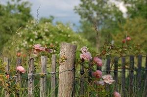 Le rosier encien Léontine Gervais du groupe des wichuraïna à la roseraie de Gérenton  pépinière-jardin située à Bédoin au pied du Mont ventoux dans le vauclusea