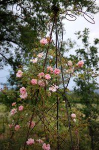 Le rosier ancien Léontine Gervais à la roseraie de Gérenton