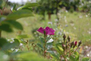 la fleur du rosier ancien Prince régent collection de la roseraie de gérenton