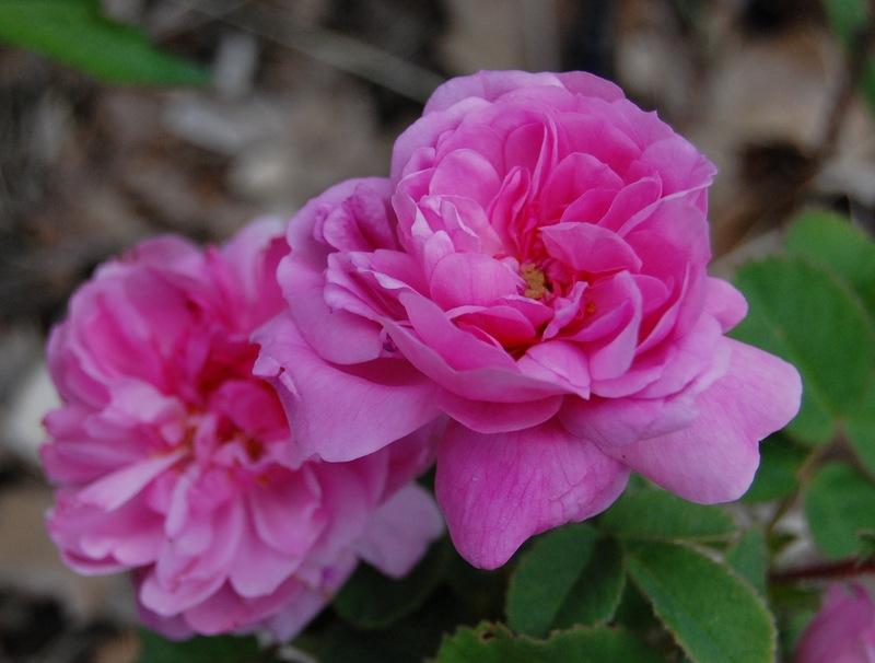 Le rosier Spong's un rosier rose du groupe des centifolia en fleur à la roseraie de Gérenton roseraie en vaucluse