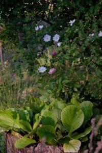 Les bergénia et le rosier souvenir d'alphonse turc à la roseraie de Gérenton