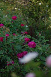 Au coeur des roses de rescht à la roseraie de Gérenton à Bédoin