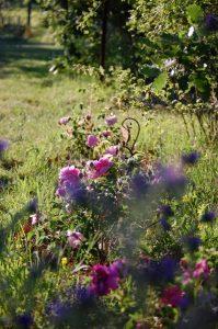 Allée de rosiers roses et nuage bleuté à la roseraie de Gérenton