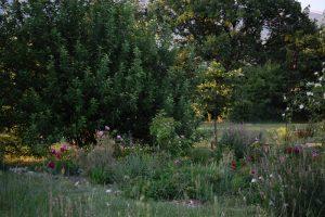 Les rosiers assemblage des beautés rené d'anjou et belle amour collection de la roseraie de gérenton
