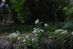rosa tomentella dans le jardin nénètses à la roseraie de Gérenton à Bédoin