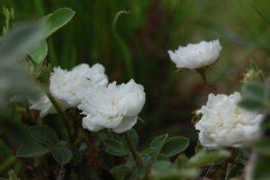 le rosier rose de meaux blanc rosier ancien de la collection de la roseraie de Gérenton