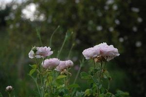 roses en couoe visible à la roseraie de Gérenton en vaucluse à Bédoin