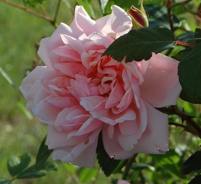la fleur du rosier Albertine une rose de wichurana visible à la roseraie de Gérenton à Bédoin