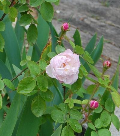 La fleur du rosier Alfred de Dalmas un rosier du groupe des centifolias muscosa . Le rosier est visible à la roseraie de gérenton située à Bédoin dans le vaucluse au pied du Mont ventoux.