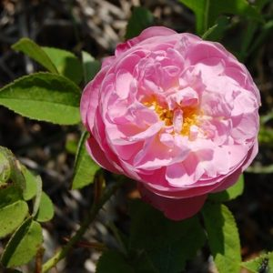 La fleur du rosier Belle amour un rosier du groupe des Alba . Le rosier est visible à la roseraie de gérenton située à Bédoin dans le vaucluse au pied du Mont ventoux.
