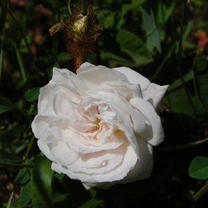La fleur du rosier Blanche Moreau un rosier du groupe des centifolia muscosa . Le rosier est visible à la roseraie de gérenton située à Bédoin dans le vaucluse au pied du Mont ventoux.