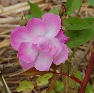 La fleur du rosier Camélia rose un rosier du groupe des chinensis . Le rosier est visible à la roseraie de gérenton située à Bédoin dans le vaucluse au pied du Mont ventoux.
