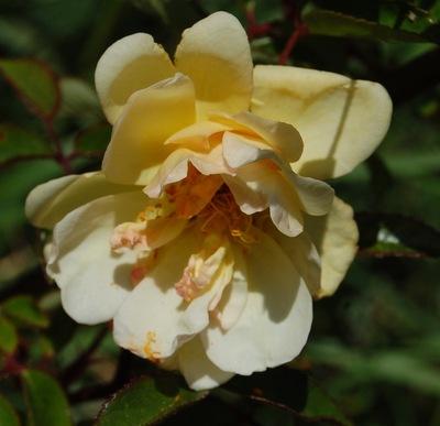 La fleur du rosier daybreak un rosier du groupe des hybrides de moschata . Le rosier est visible à la roseraie de gérenton située à Bédoin dans le vaucluse au pied du Mont ventoux.