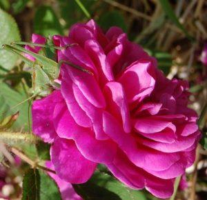 La fleur du rosier Eugénie Guinoisseau un rosier du groupe des centifolia muscosa. Le rosier est visible à la roseraie de gérenton située à Bédoin dans le vaucluse au pied du Mont ventoux.