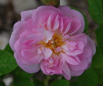 La fleur du rosier Gloire de Guilan un rosier du groupe des Damas. Le rosier est visible à la roseraie de gérenton située à Bédoin dans le vaucluse au pied du Mont ventoux.
