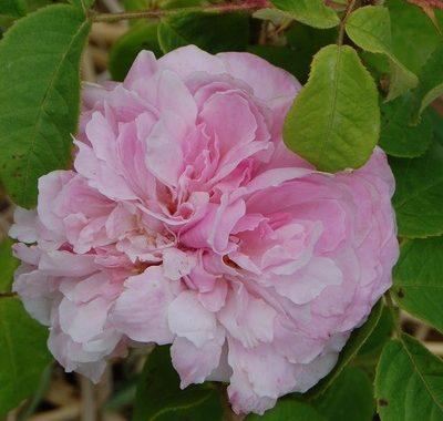La fleur du rosier Jacques Cartier un rosier du groupe des Portland . Le rosier est visible à la roseraie de gérenton située à Bédoin dans le vaucluse au pied du Mont ventoux.