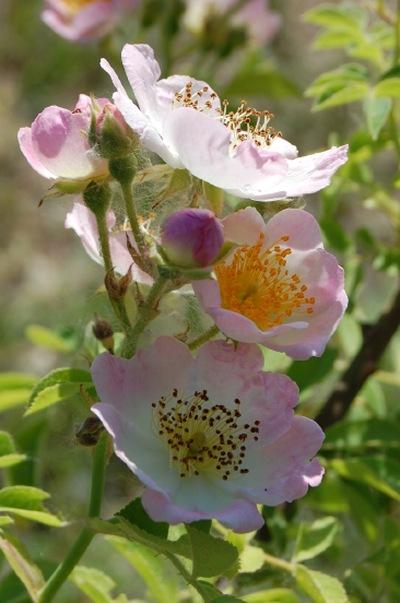 La fleur du rosier Kew rambler un rosier hybride de soulieana . Le rosier est visible à la roseraie de gérenton située à Bédoin dans le vaucluse au pied du Mont ventoux.