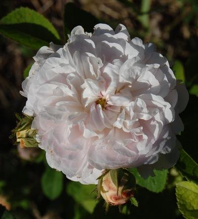 La fleur du rosier prolifera de redouté un rosier du groupe des centifolias. Le rosier est visible à la roseraie de gérenton située à Bédoin dans le vaucluse au pied du Mont ventoux.