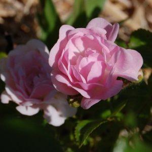 La fleur du rosier The fairy un rosier du groupe des polyantha. Le rosier est visible à la roseraie de gérenton située à Bédoin dans le vaucluse au pied du Mont ventoux.
