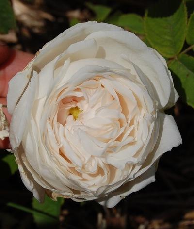La fleur du rosier Botzaris un rosier du groupe des Damas . Le rosier est visible à la roseraie de gérenton située à Bédoin dans le vaucluse au pied du Mont ventoux.