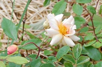 La fleur du rosier Ceres un rosier du groupe des hybrides de Moschata . Le rosier est visible à la roseraie de gérenton située à Bédoin dans le vaucluse au pied du Mont ventoux.