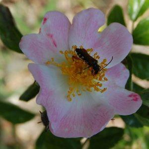 La fleur du rosier évangeline un rosier grimpant du groupe des wichuraïana . Le rosier est visible à la roseraie de gérenton située à Bédoin dans le vaucluse au pied du Mont ventoux.