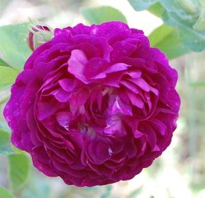 La fleur du rosier la Négresse un rosier du groupe des Damas . Le rosier est visible à la roseraie de gérenton située à Bédoin dans le vaucluse au pied du Mont ventoux.