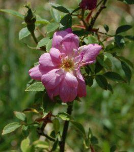 La fleur du rosier Pompon de Paris grimpant un rosier du groupe des chinensis . Le rosier est visible à la roseraie de gérenton située à Bédoin dans le vaucluse au pied du Mont ventoux.