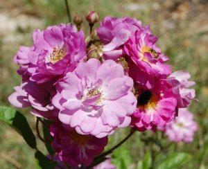 La fleur du rosier Raymond Privat un rosier du groupe des polyantha. Le rosier est visible à la roseraie de gérenton située à Bédoin dans le vaucluse au pied du Mont ventoux.