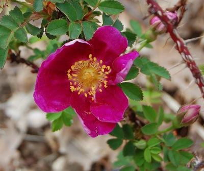 La fleur du rosier Single Cherry un rosier du groupe des pimpinellifolia . Le rosier est visible à la roseraie de gérenton située à Bédoin dans le vaucluse au pied du Mont ventoux.